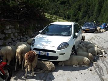 še Ovce iščejo vsako senco